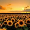 """O girassol é flor raçuda que enfrenta até a mais violenta intempérie e acaba sobrevivendo"""